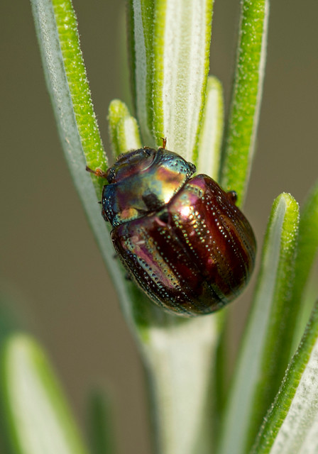 Rosemary Beetle, Chrysolina americana, Sturmer, UK, October 2013
