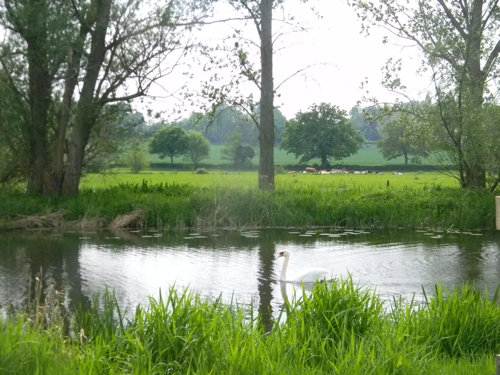 Swan on the Stour Manningtree Circular