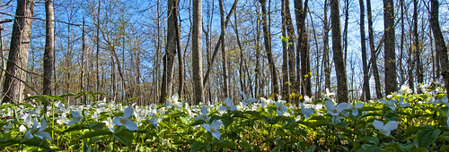 trees woodland trillium spring dogpark wildflower