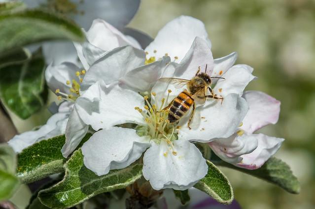 APE / BEE ( APRILE 2016)