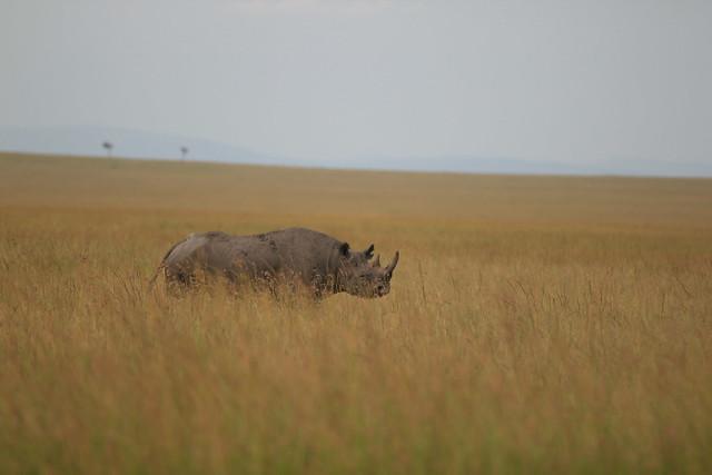Rhino - Maasai Mara, Kenya, 2012.