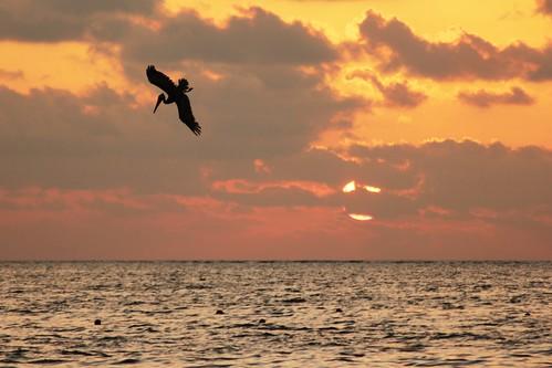 Pelican Dives