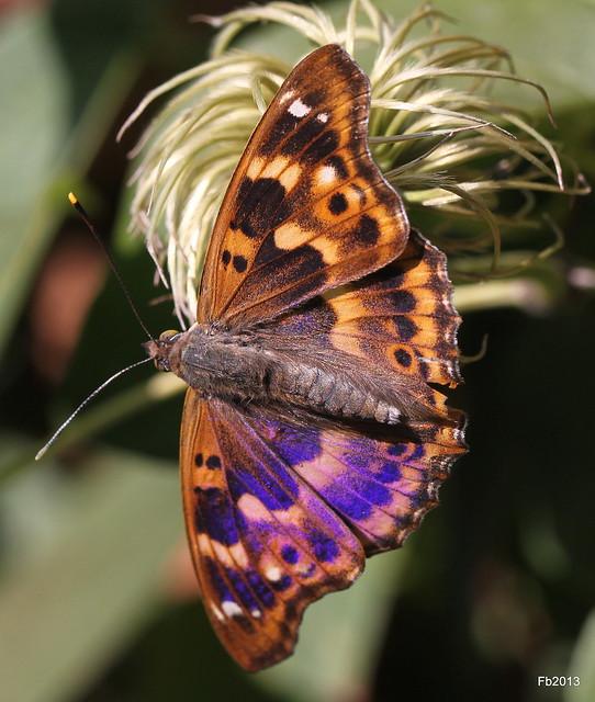 Butterfly (Boloria selene)