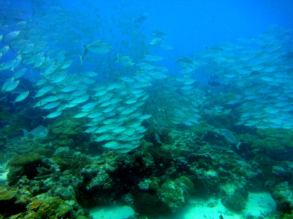 Fish shoaling over the reef, German Channel, Palau