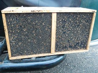 Hiving Honey Bees in Top Bar Hive | by EverydayUrbanGardener