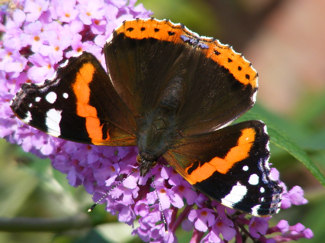 A UPSIDE DOWN BUTTERFLY IN THE GARDEN AT %$ WIM THE GULAG BRANSHOLME IN KINGSTON upon HULL THE CITY OF CULTURE IN 2017