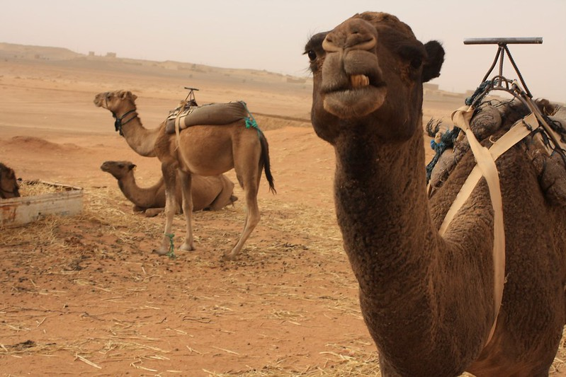 Camels and defiance