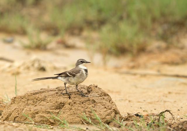 Cape Wagtail, Motacilla capensis, Falcon College, Esigodini, Zimbabwe
