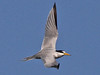 Least Tern, Fort Myers Beach (Florida), 17-Apr-13 by Dave Appleton