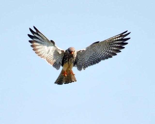 Eastern Red-footed Kestrel, Amur Falcon, Falco amurensis, Zimbabwe Feb 2010