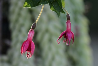 Fuchsia sp. | by Dindingwe