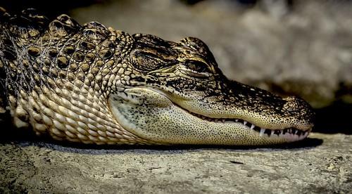 Alligator @ The North Carolina Aquarium At Pine Knoll Shores