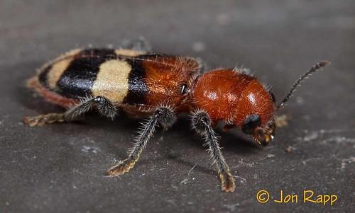 insect colorful beetle missouri mimic enoclerusquadrisignatus