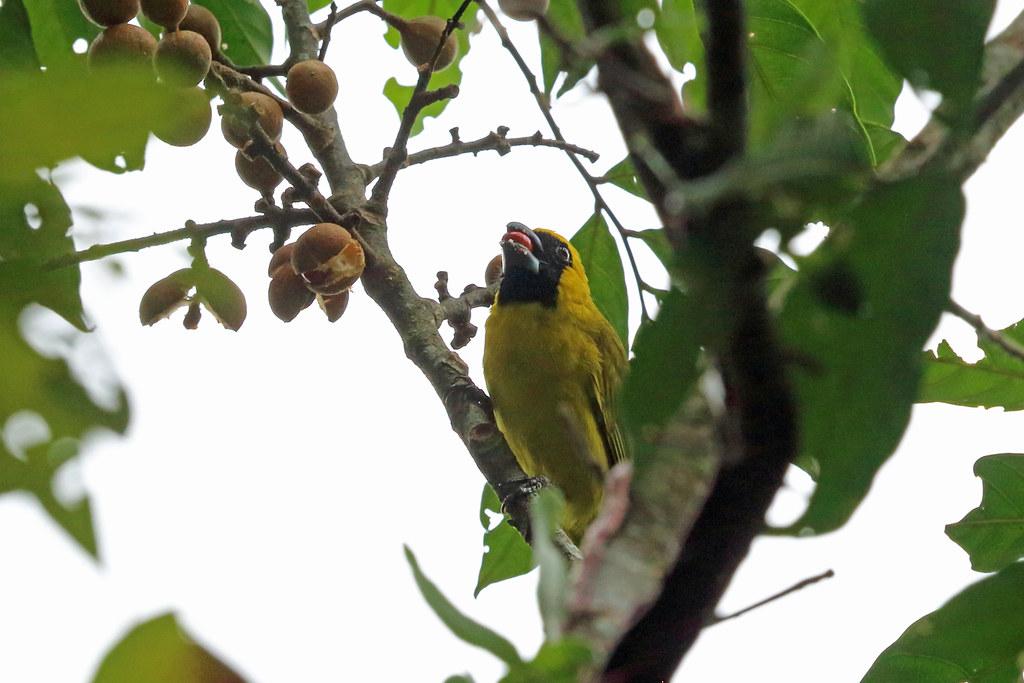 Yellow-green Grosbeak, REGUA, Brazil