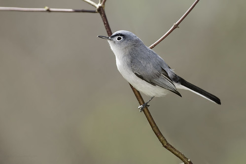 Blue-gray Gnatcatcher, m | by Kelly Colgan Azar