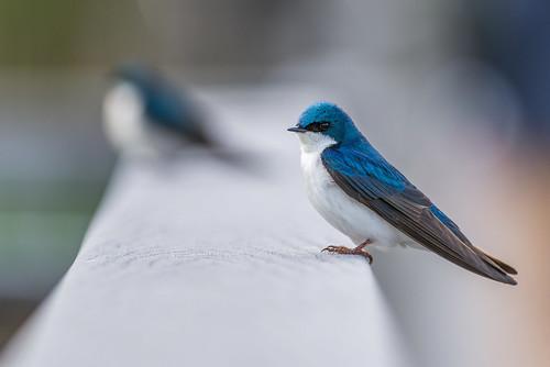 blue bird philadelphia nature us spring nikon unitedstates pennsylvania wildlife swallow tinicum treeswallow johnheinznwr heinznwr d800e