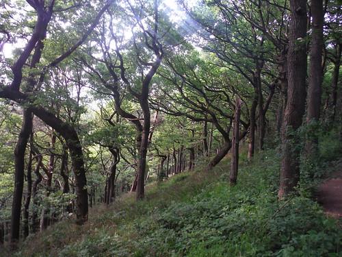 Ancient Oakwood, Ladies' Spring Wood SWC Walk 267 - Sheffield Circular (via Porter, Limb, Sheaf and Gleadless Valleys)