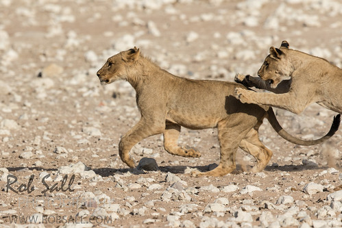 africa vacation cat canon mammal big feline lion bigcat lions endangered predator 500mm namibia canoneos lioness bigcats carnivore vulnerable 2015 pantheraleo kunene canon500mmf4 largefelines 7dmarkii canon7d2 canon7dmarkii canon7dmark2 robsallphotography 7dm2 7dmark2 7dmii canoneos7dmark2 canon7dm2 canoneos7dm2 canon500mmf4lii canon500mmf4lisiiusm canon500mmf4ii
