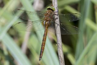 (181) Dragonfly - Norfolk Hawker - Wheatfen