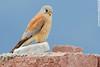 LESSER KESTREL Falco naumanni by Rich Andrews