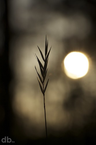 sunset grass silhouette canon weed florida bokeh seedhead vegetation borderfx bino99