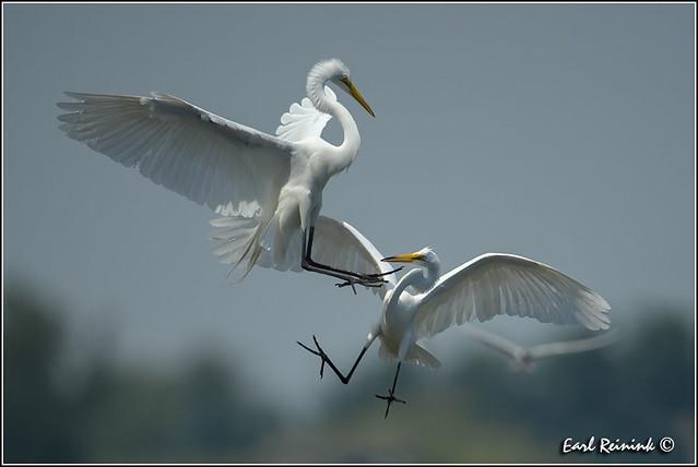 Great Egret (130703-0669)