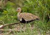 Red-crested Korhaan, Eupodotis ruficrista, Hwange Nat park, Dec 20 by Jeremy Smith Photography