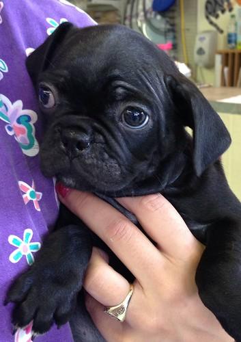 <p>Bug (boston terrier/pug)</p>
