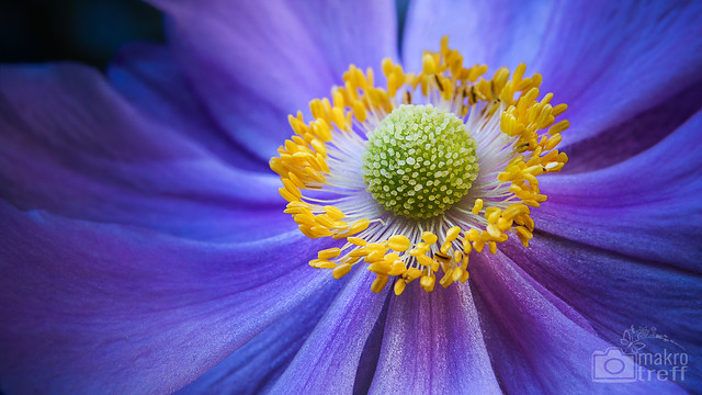 Di, 2012-09-18 12:22 - Die Farben dieser Blüte haben mich magisch angezogen. Fotografiert mit dem Sony DT 18-55 mm und einer 10 dpt Nahlinse.