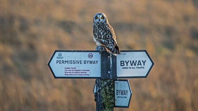Short-eared Owl Seeking Direction