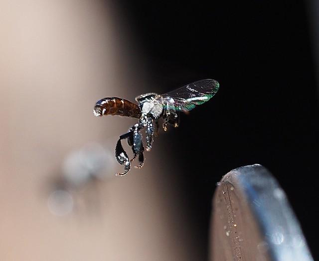 tetragonula carbonaria - Australian Stingless Bee