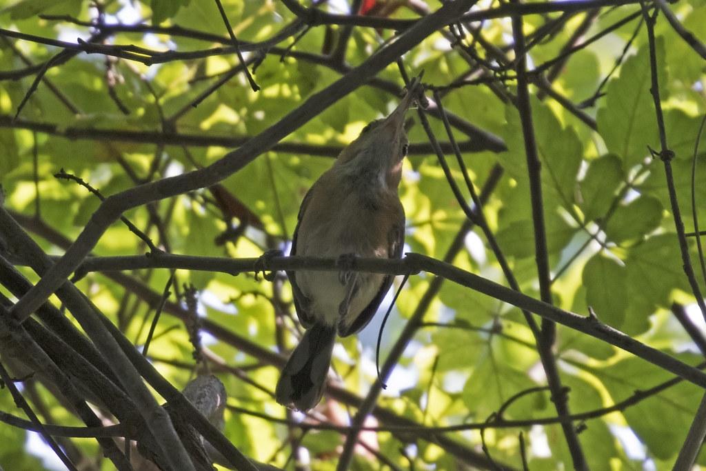 Long-billed Gnatwren {Ramphocaenus melanurus}