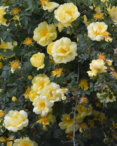 ENCHANTING WILD YELLOW ROSES GROWING ON THE ROADSIDE IN LONG GRASS...