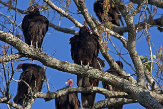 Vultures | by Stephen J Pollard (Loud Music Lover of Nature)