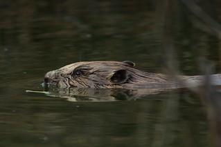 Beaver closeup ;) | by ressaure