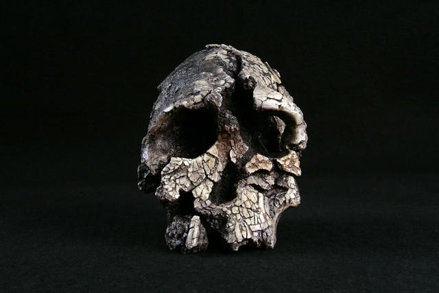 Hominid_Skull-Kenyanthropus_platyops_KNM-WT-40000_001.jpg