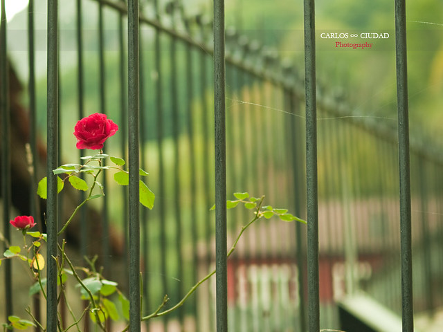 Rose in the fence