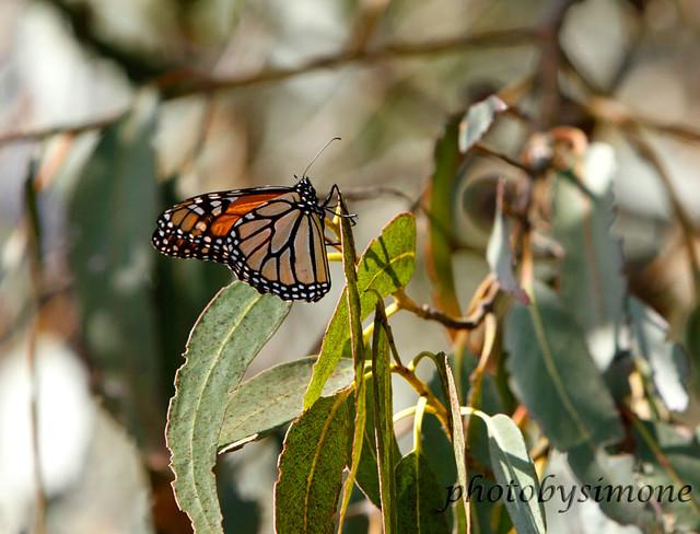 Monarch butterfly #2303