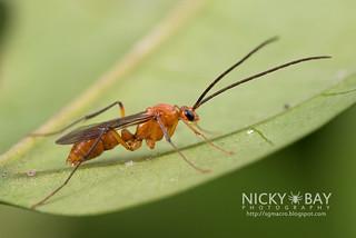 Ant (Diacamma sp.) - DSC_8311