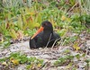 Variable Oystercatcher by Linrod
