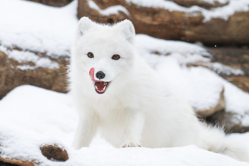 Arctic Fox Playing