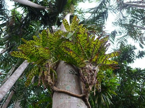 brisbane sunnybank southbrisbane tropicallandscaping balistyle tropicalesque tropicalstylegarden opengarden dennishundscheidt aechmeaorlandiana bromeliad epiphyte bromeliaceae tanetahi
