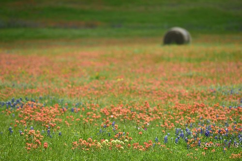 indianpaintbrush texaswildflowers castilleja texasbluebonnet springcolors chapellhill scarletindianpaintbrush entireleafindianpaintbrush nikond800 texasindianpaintbrush nikkor70200mmf28gvrii scarletpaintedcup