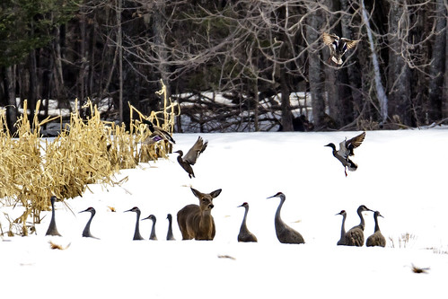 Sandhill Cranes White-tailed Deer Mallards | by Bugbait of Seney