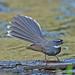 Rhipidura albicollis - Photo (c) Koshy Koshy, algunos derechos reservados (CC BY)