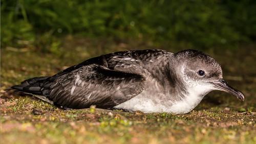 Manx Shearwater (  Puffinus puffinus )