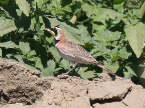 Horned Lark Eremophila alpestris rubea | by Engilis Photos