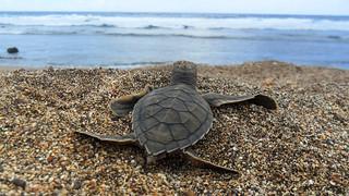 Green-Turtle_Projeto_Tamar_1 | by Oregon State University