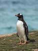 Gentoo Penguin (Pygoscelis papua) by David Cook Wildlife Photography
