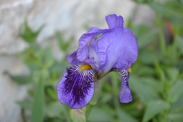 Iris 'Monsignor' - Vilmorin 1907 13939384249_318b3c3005_z